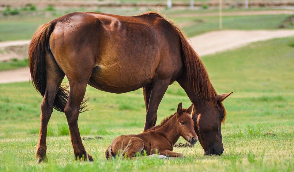 Fohlen und Pferd