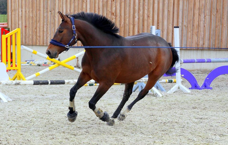 Pferd beim Longieren und Voltigieren